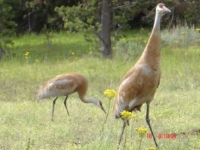 Sandhill crane pair, picture by Kate Valdez