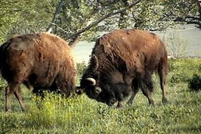 Buffalo fight, picture by G. Mink